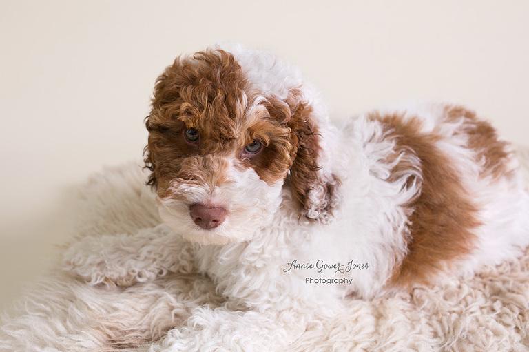 Annie Gower-Jones Photography Altrincham Cute Puppy Dog Photoshoot